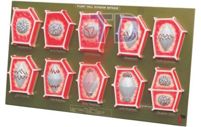 Set of 10 models showing the different stages of mitosis cell